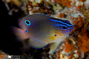 Damselfish by Pietro Cremone 